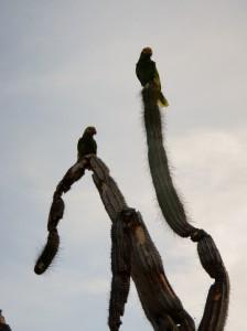 Geelvleugel Amazone Papegaai of Lora