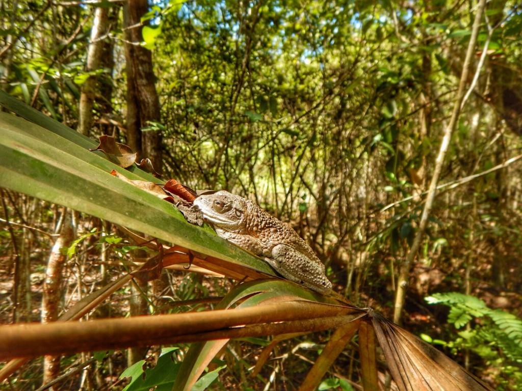 Een Cubaanse boomkikker