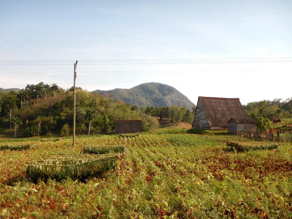 De eerste tabaksvelden