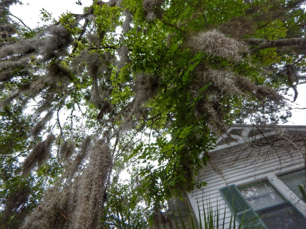 Don't you just love Spanish Moss?